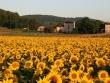 Sunflower fields © Saint Louis